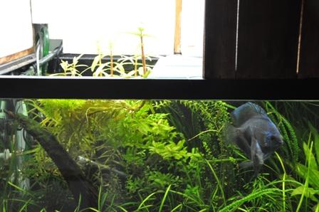 3月後半水草水槽 水上葉3.jpg