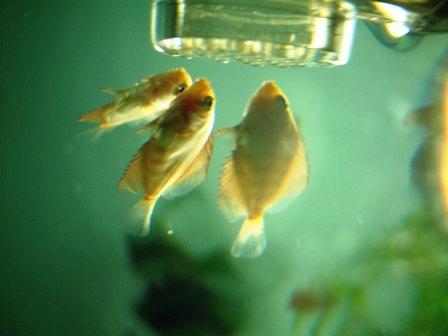 稚魚1ヶ月3週 (1).jpg