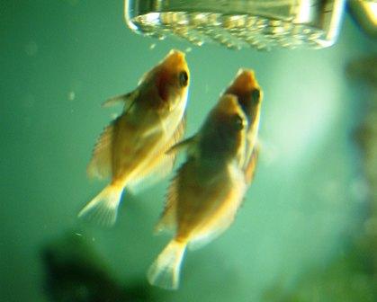 稚魚1ヶ月3週 (2).jpg