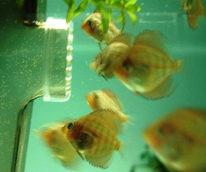 稚魚1ヶ月3週間 (4).jpg