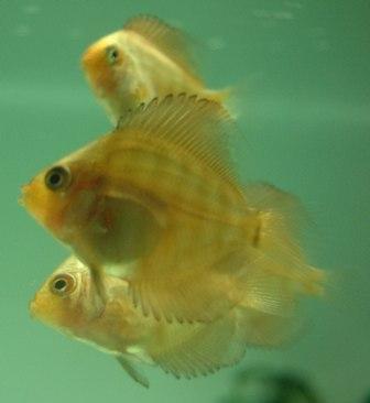稚魚1ヶ月3週間 (5).jpg
