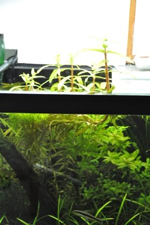 3月後半水草水槽 水上葉1.jpg