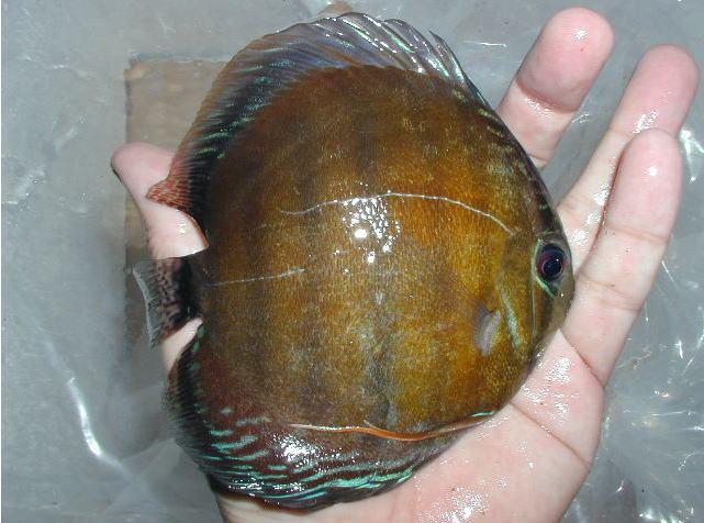 タライーラA10cm2009年2月2.jpg