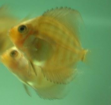 稚魚1ヶ月3週間 (6).jpg